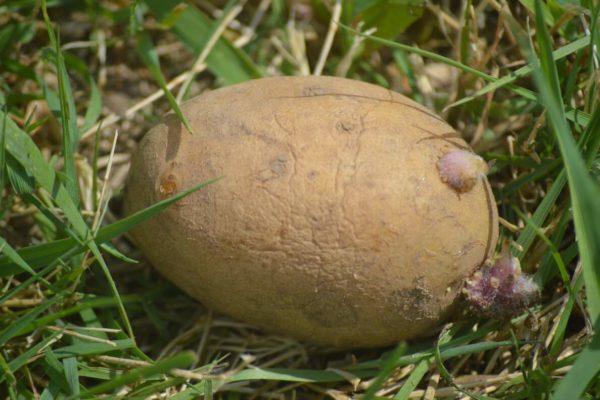 Avastades kartulit