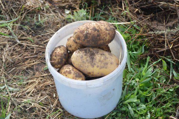 Avastades kartulit1